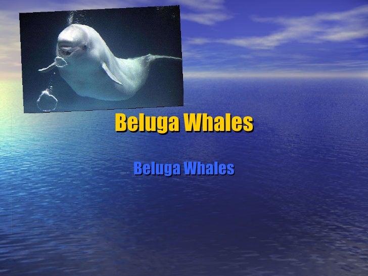 Beluga Whales Beluga Whales