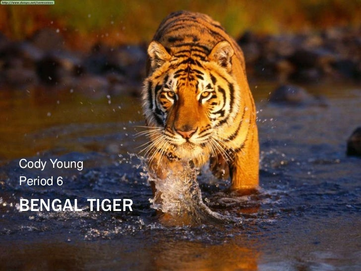 Cody YoungPeriod 6BENGAL TIGER