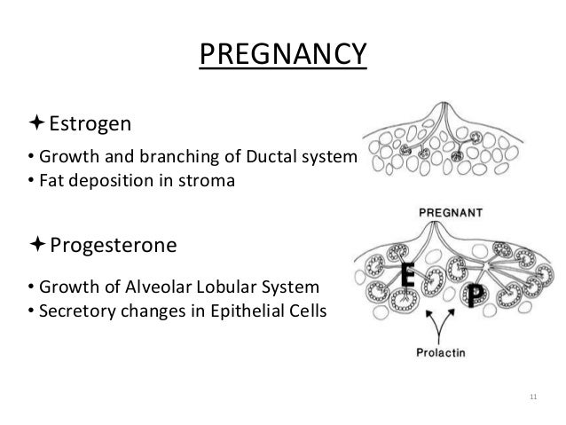 PREGNANCY 11 Progesterone • Growth and branching of Ductal system • Fat deposition in stroma Estrogen • Growth of Alveol...