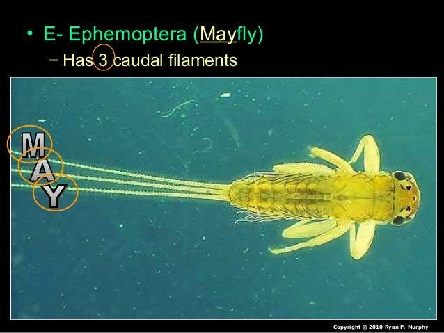 • E- Ephemoptera (Mayfly) – Has 3 caudal filaments Copyright © 2010 Ryan P. Murphy