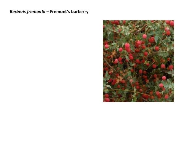 Berberis fremontii – Fremont's barberry