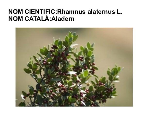 NOM CIENTIFIC:Rhamnus alaternus L.NOM CATALÀ:Aladern
