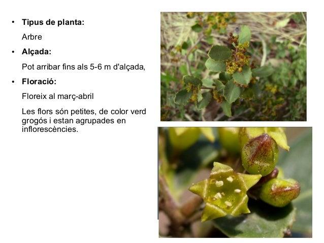 ●   Tipus de planta:    Arbre●   Alçada:    Pot arribar fins als 5-6 m dalçada,●   Floració:    Floreix al març-abril    L...