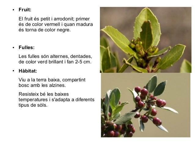 ●   Fruit:    El fruit és petit i arrodonit; primer    és de color vermell i quan madura    és torna de color negre.●   Fu...