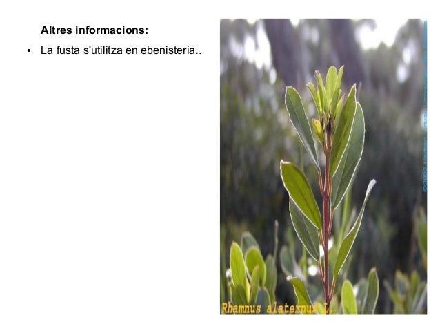Altres informacions:●   La fusta sutilitza en ebenisteria..