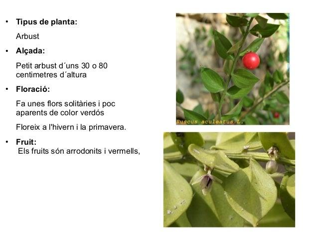 ●   Tipus de planta:    Arbust●   Alçada:    Petit arbust d´uns 30 o 80    centimetres d´altura●   Floració:    Fa unes fl...