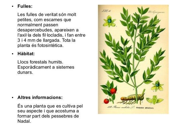 ●   Fulles:    Les fulles de veritat són molt    petites, com escames que    normalment passen    desapercebudes, apareixe...
