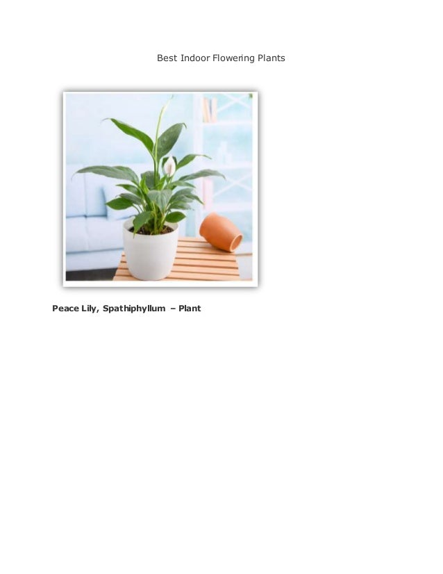 Best Indoor Flowering Plants Peace Lily, Spathiphyllum – Plant