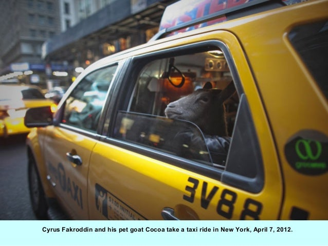 Cyrus Fakroddin and his pet goat Cocoa take a taxi ride in New York, April 7, 2012.