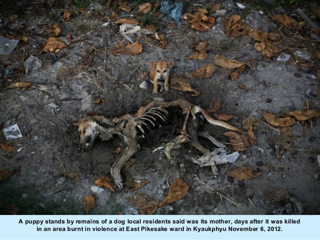 A puppy stands by remains of a dog local residents said was its mother, days after it was killed     in an area burnt in v...