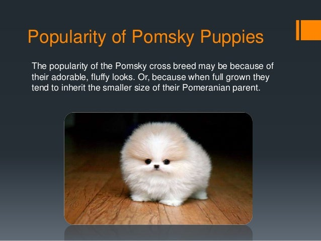 Best Quality Pomsky Puppies For Sale