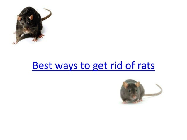 how to get rid of lice on rats