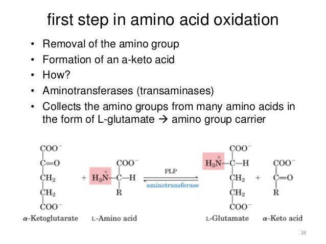 Beta oxidation & protein catabolism