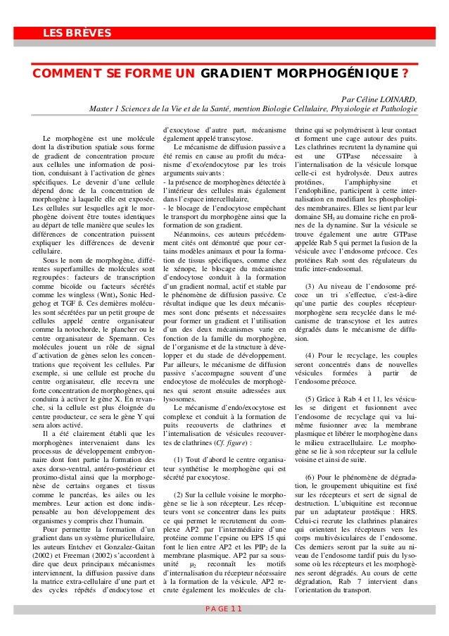 LES BRÈVES PAGE 11 COMMENT SE FORME UN GRADIENT MORPHOGÉNIQUE ? Par Céline LOINARD, Master 1 Sciences de la Vie et de la S...