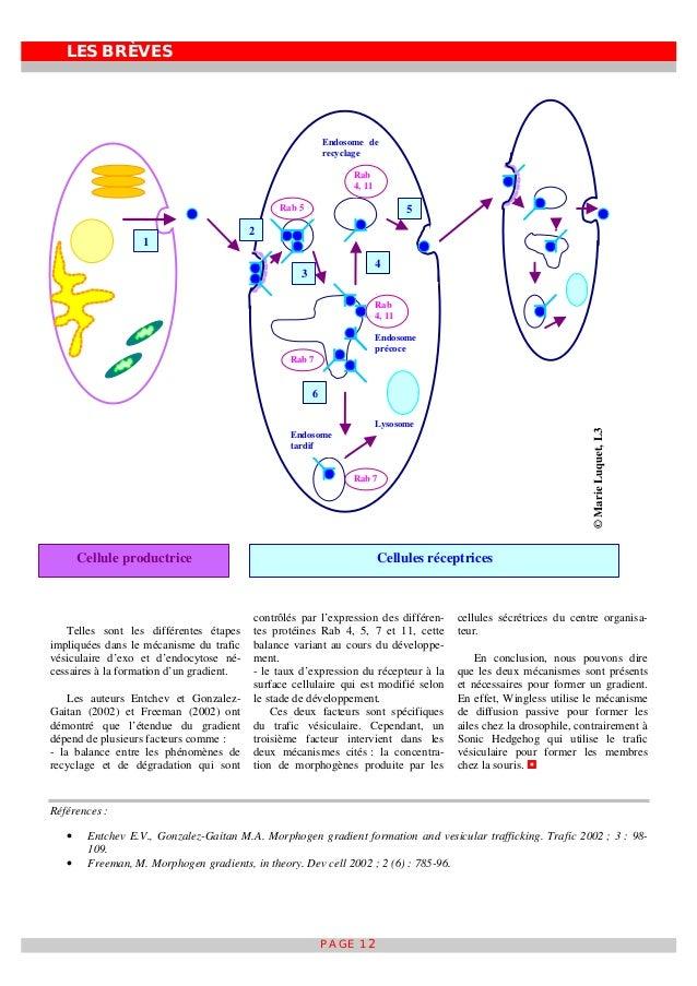 LES BRÈVES PAGE 12 Telles sont les différentes étapes impliquées dans le mécanisme du trafic vésiculaire d'exo et d'endocy...