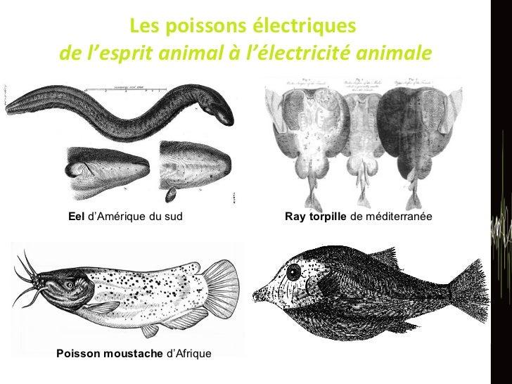 Les poissons électriques  de l'esprit animal à l'électricité animale Eel  d'Amérique du sud Ray torpille  de méditerranée ...