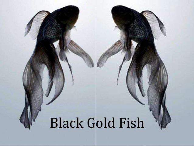 Black Gold Fish