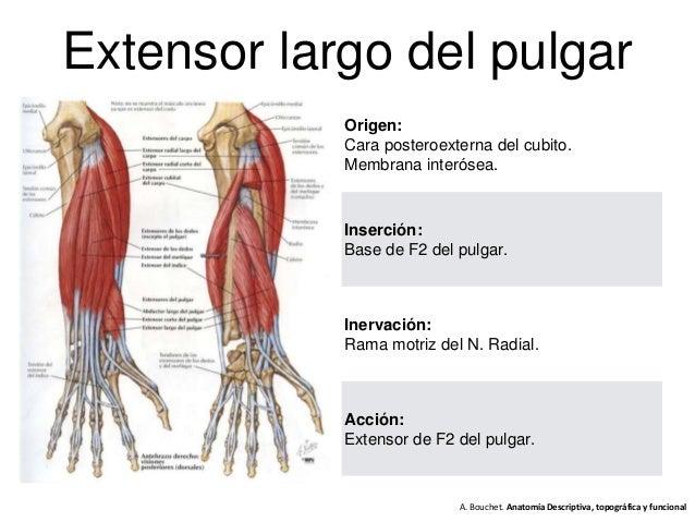 Anatomía mano 2