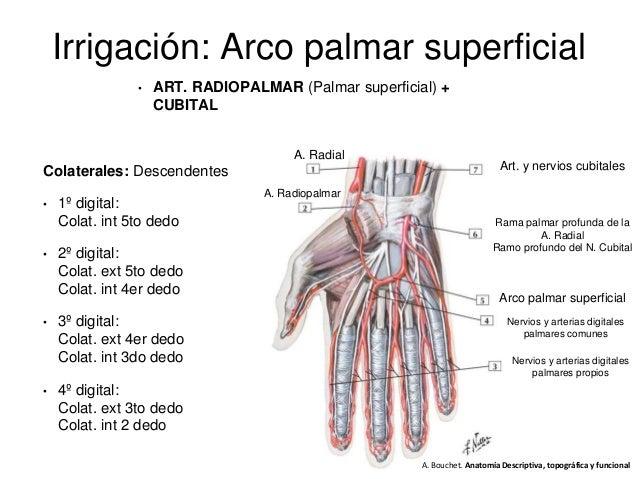 Dedos Anatomía De Mano - Dalek
