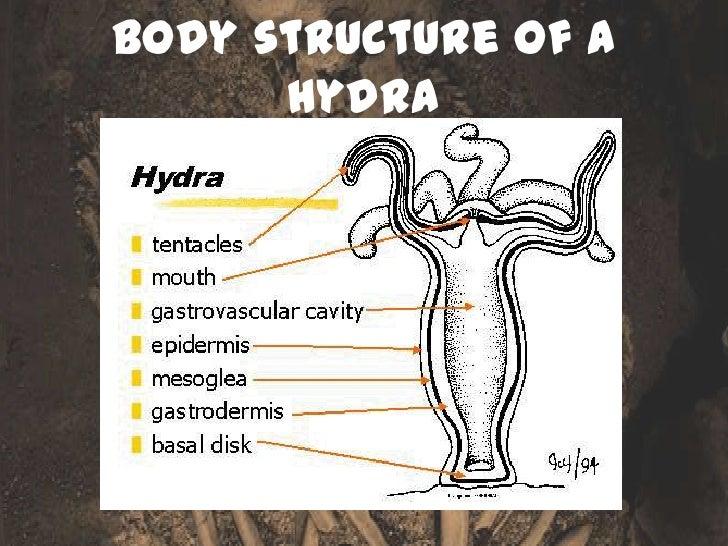 how do hydrostatic skeletons move