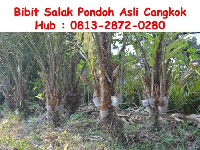 Bibit Salak Pondoh Asli Cangkok Hub : 0813-2872-0280