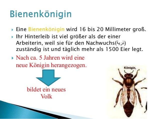 lebenserwartung bienen