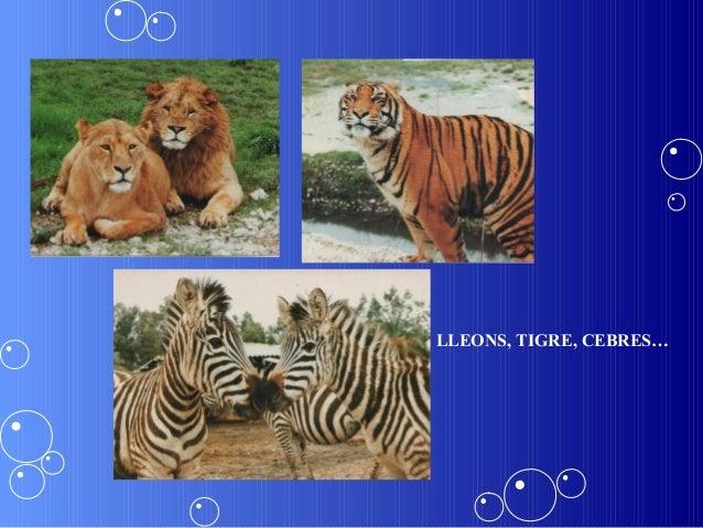 LLEONS, TIGRE, CEBRES…