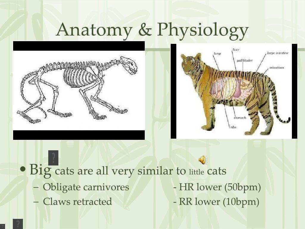 Anatomy & Physiology <ul><li>Big cats