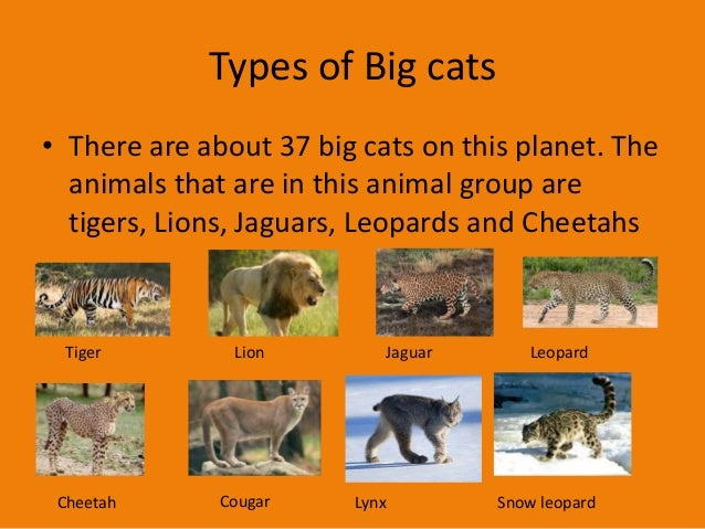 Different Types Of Big Cats Cute Cats