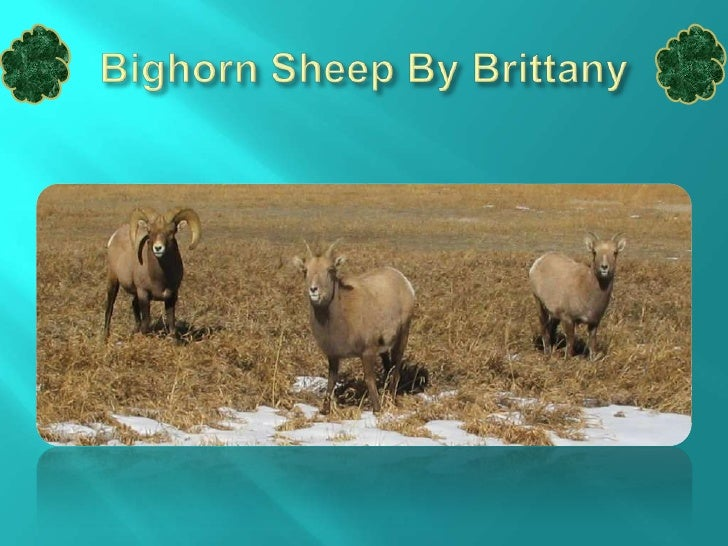 Description The Bighorn Sheep's fur coat is pale grey or light brown. It has two large horns coming out of its head. The b...