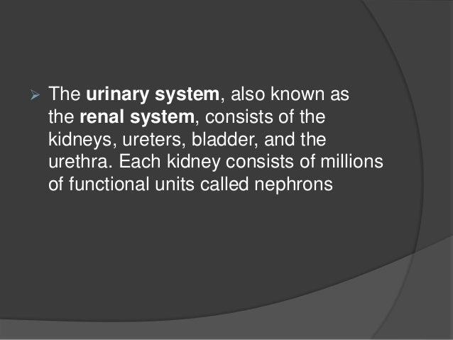 urinary system(urinary tract) Slide 2