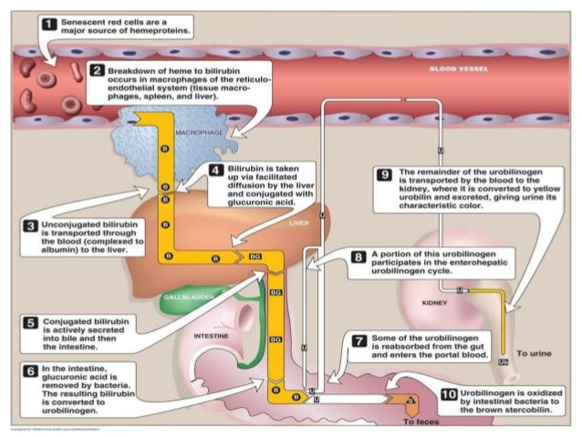 Biliary system anatomy,physiology & investigations