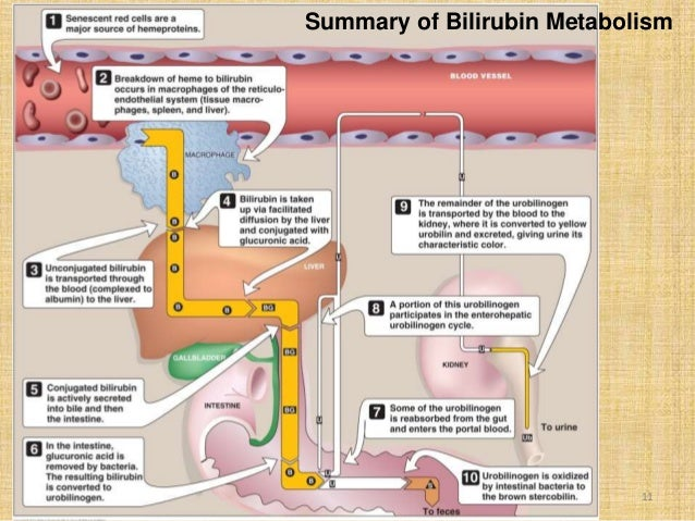 Bilirubin Metabolism 67992625 on liver and bilirubin