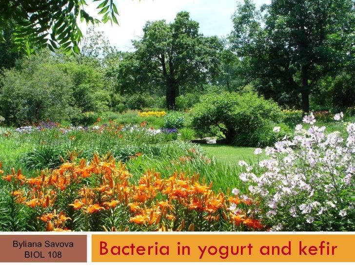 Bacteria in yogurt and kefir Byliana Savova BIOL 108