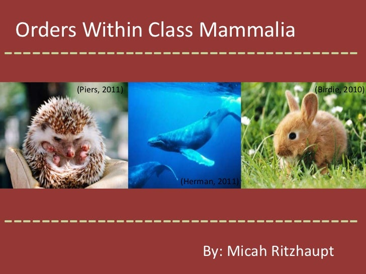 Orders Within Class Mammalia<br />--------------------------------------<br />(Piers, 2011)<br />(Birdie, 2010)<br />(Herm...