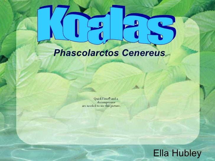 Phascolarctos Cenereus Ella Hubley Koalas