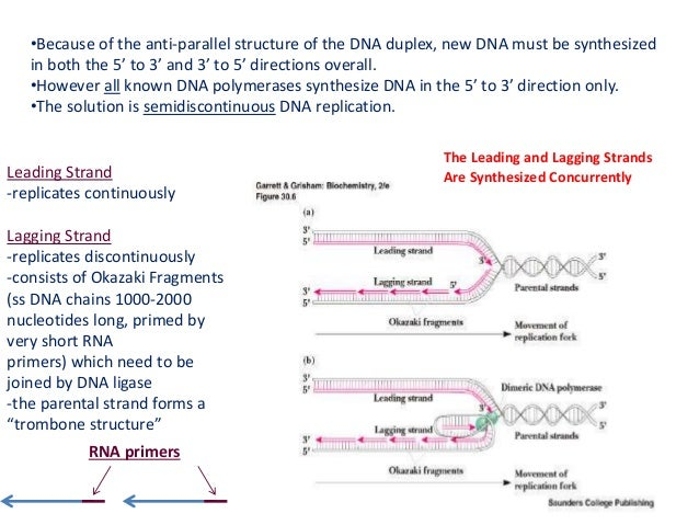 Bio108 cell biology lec 5 dna replication repair and recombination strand replication fork two daughter dna molecules 9 pronofoot35fo Choice Image