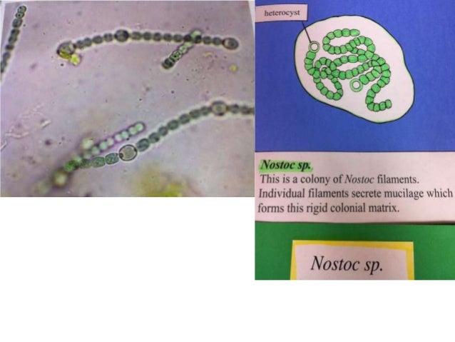 Domain Eukarya (Protists)• Membrane bound nucleus• Mitochondria and intercellular structures  (endosymbiosis)• Cytoskeleto...