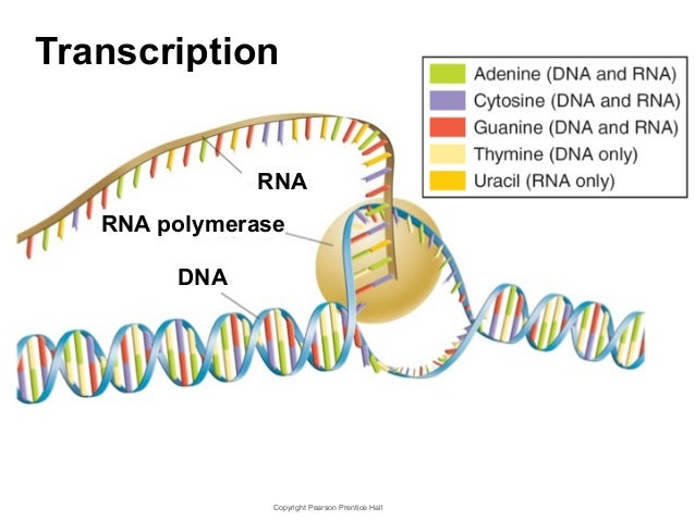 Chapter 12- DNA, RNA, and Proteins