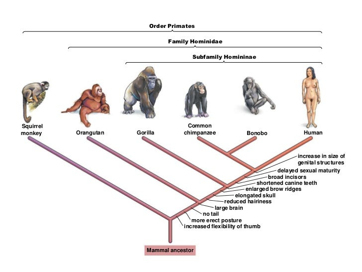 order of primate The entire primate order but these are a set of general tendencies that aren't equally expressed in all primates in  an overview of the primates.