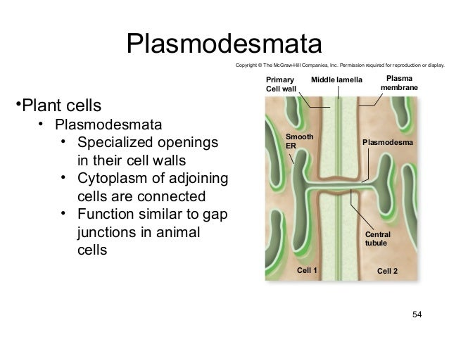 Animal cell membrane functions