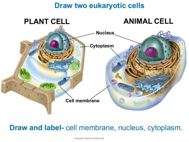 Chapter seven the cell animal cell rough endoplasmic reticulum mitochondrion cell membrane nucleus nuclear envelope nucleolus centrioles 17 ccuart Image collections