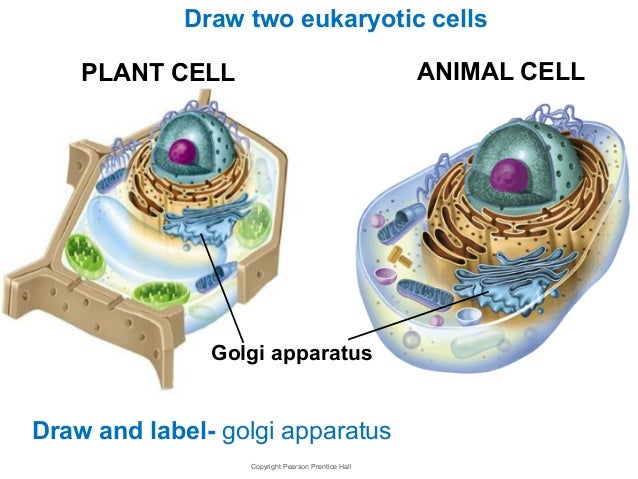 animal cell golgi bodies - photo #24