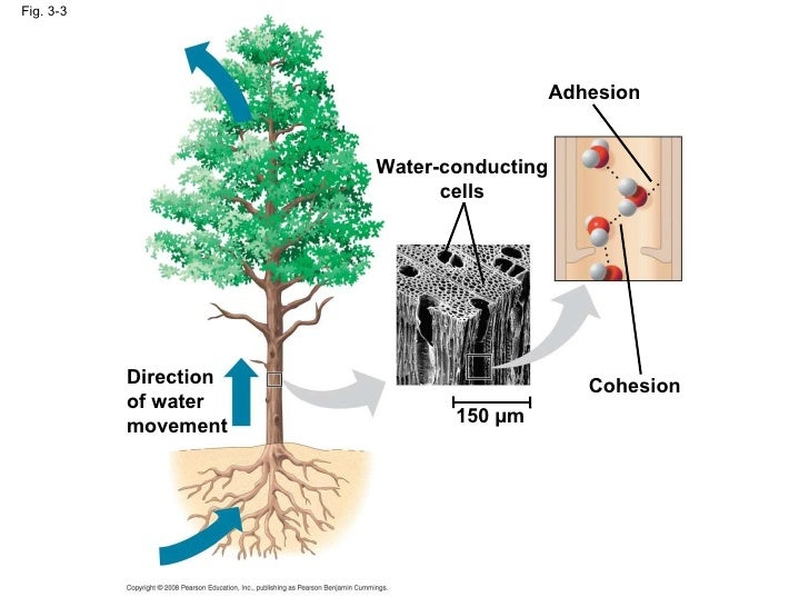 Water Adhesion Examples Bio Ch 3 Pwpt