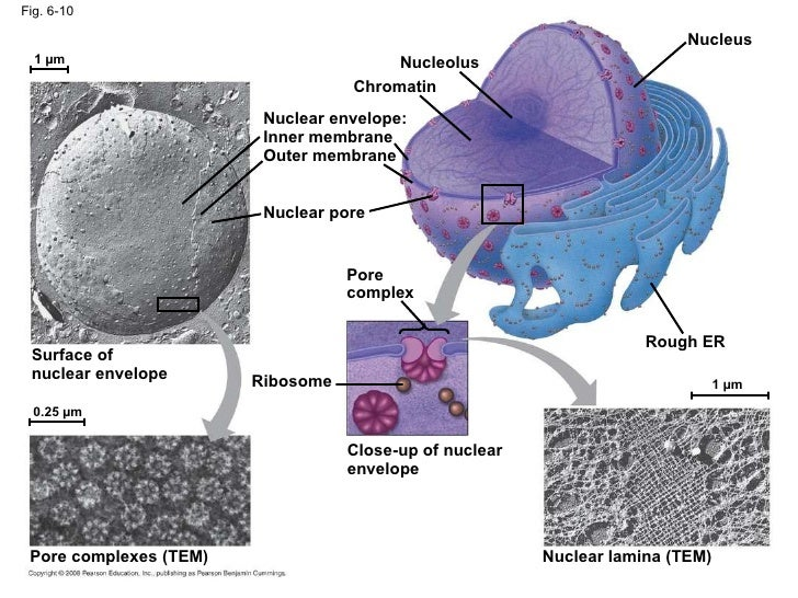 Nuclear Lamina And Nuclear Matrix   www.pixshark.com ...