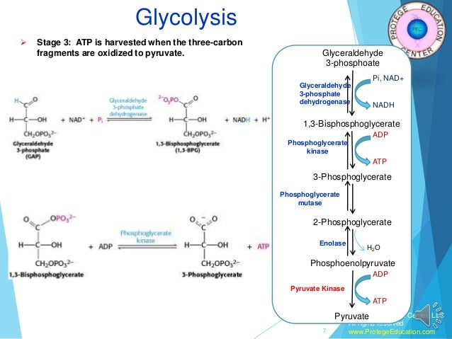 Fructose 6 Phosphate Glycolysis Glycolysis pathway in ...