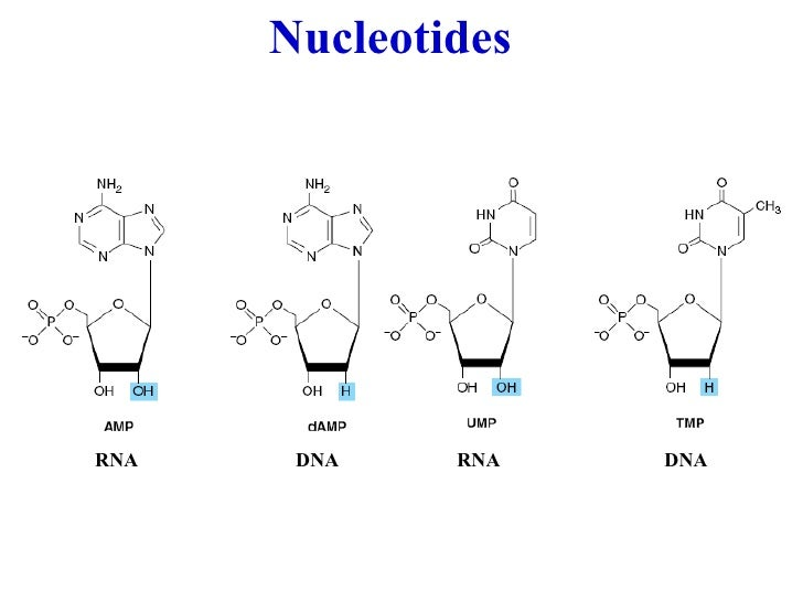 biochem nucleotides structure and functions  june 18 2010
