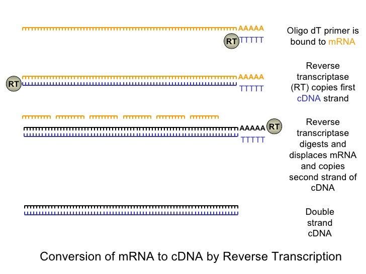 Double strand cDNA AAAAA TTTTT RT RT RT Oligo dT primer is bound to  mRNA Reverse transcriptase (RT) copies first  cDNA  s...