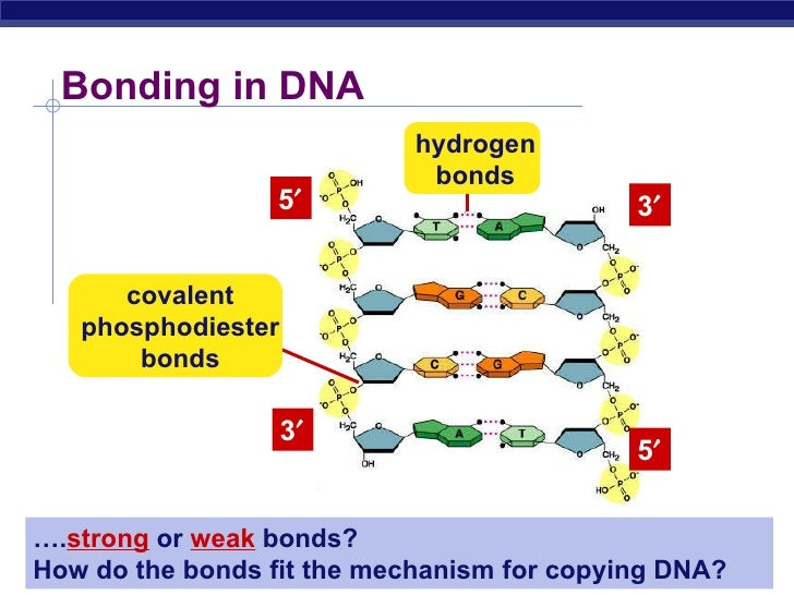 Biochem synthesis of dna bonding in dna ccuart Gallery