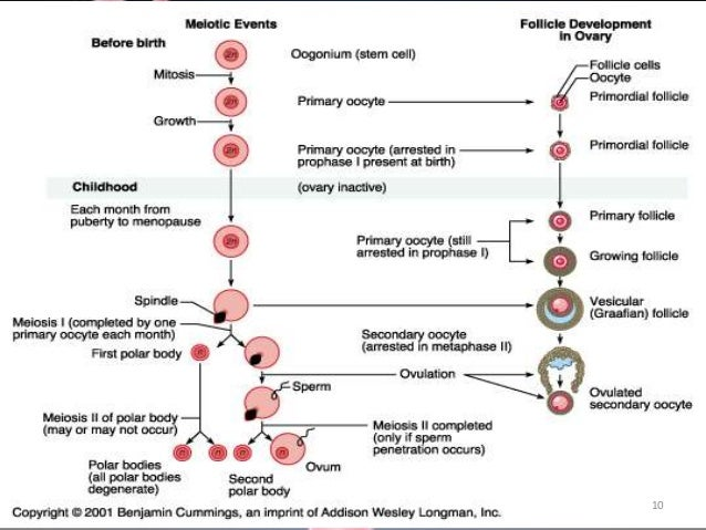 Biochemical Changes During Oogenesis